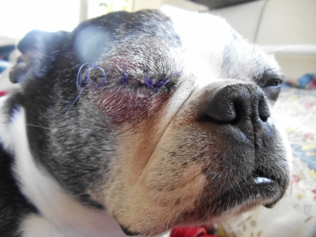 Leo's sutures are scheduled to be removed on the 16th.  He has had no leakage from the eye and it appears to be healing well.