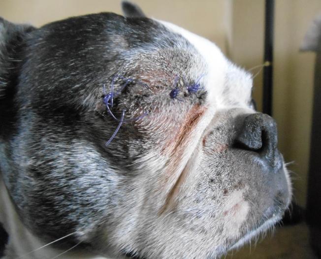 Leo's eye area 5 days post surgery.